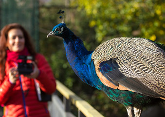 woman in a red jacket and a peacock sitting in the foreground