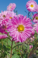 Large gentle  pink aster on a green background