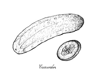 Hand Drawn of Fresh Green Cucumber on White Background