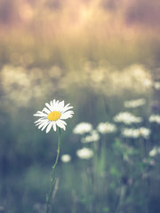 Oxeye Daisy in Summer Sun