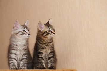Two cute little bobtail kitten