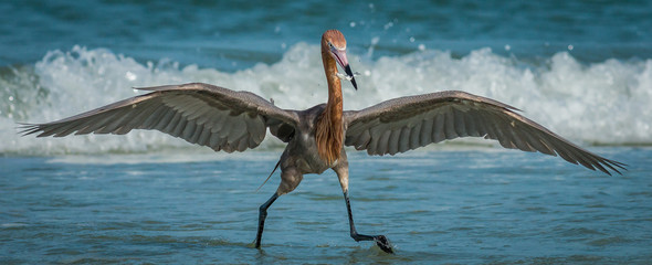 Reddish Egret actively hunting on the shoreline