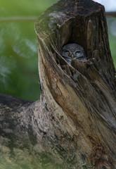Spot Owlet
