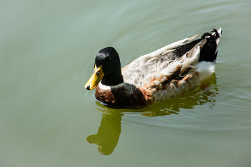 closeup photo of swimming duck in the pond