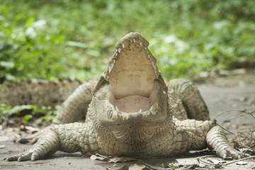 White Crocodile / Albino Siamese Crocodile : Freshwater crocodile , skin is white , nearly extinct , found in Southeast Asia