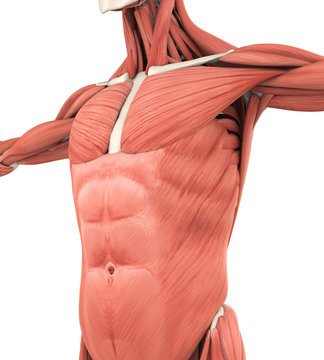 Upper Anterior Muscles Anatomy