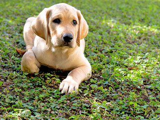 Young Male Golden Labrador Retriever Puppy, Attentive, Sitting on the Grass.