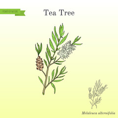 Tea tree Melaleuca alternifolia , or narrow-leaved paperbark - medical plant