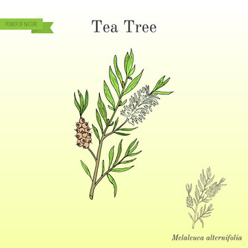 Tea tree Melaleuca alternifolia , or narrow-leaved paperbark - medical plant