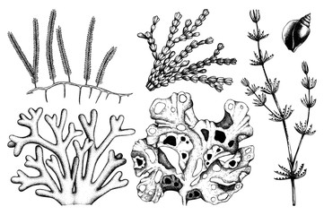 Vector collection of hand drawn green seaweed illustrations. Vintage set of sea weeds isolated on white background. Underwater sketch.
