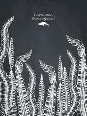 Ink hand drawn laminaria sketch, sweet sea tangle, japan kelp, alaria, set on chalkboard. Vector illustration of highly detailed brown algae. Seaweeds design.