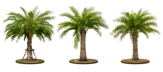 Palm tree isolated