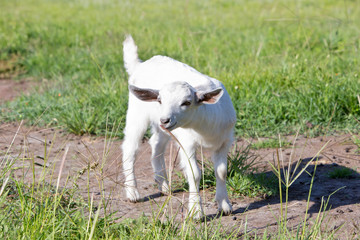 Young white miniature goat kid