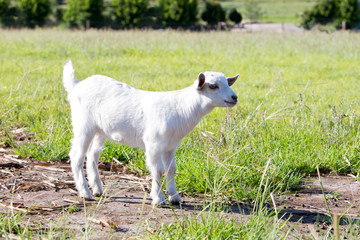 Young white miniature goat kid standing in field