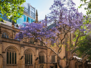 The beautiful sandstone building of Saint Andrew's Cathedral in Sydney in spring, with the purple jacaranda tree in the foreground.