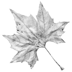 High Resolution Grey Dry Maple Leaf Isolated On White Background