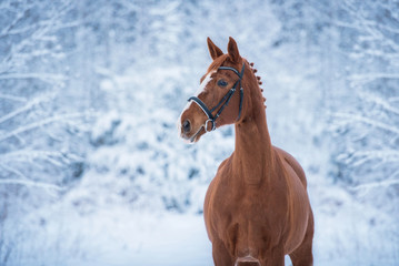 Wall Mural - Portrait of beautiful red horse in winter