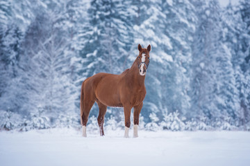 Wall Mural - Beautiful red horse standing on the field in winter