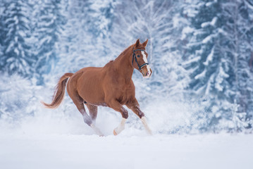 Wall Mural - Beautiful stallion running gallop in winter