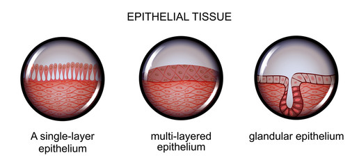 epithelial tissue. types of epithelium.