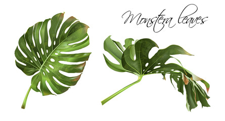 Monstera realistic illustration