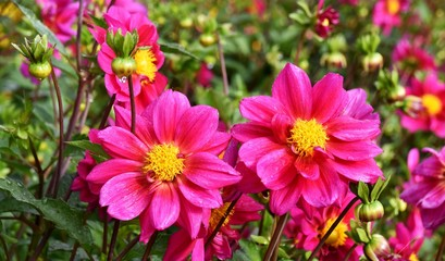Close up of beautiful pink Flowers in the garden