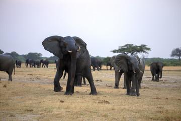 nervous African elephant, Loxodonta africana,  Hwange National Park, Zimbabwe