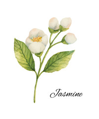 Watercolor Jasmine isolated on a white background.