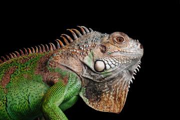 iguana on black background