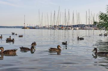 Ducks in water in port