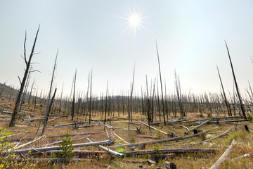 Burned down forest of black charred trees dead during fire season heat wave