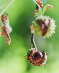 Chestnut in early autumn