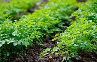 parsley in the garden