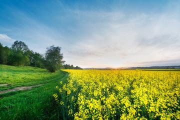 Field of rape blooming yellow flowers,sunshine, sunset