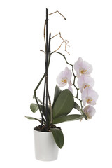 White Orchid in Flower Pot Isolated