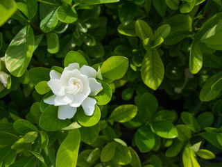The Big Gardenia Flower