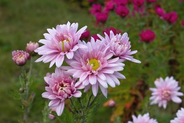Chrysanthemums - The last flowers of autumn