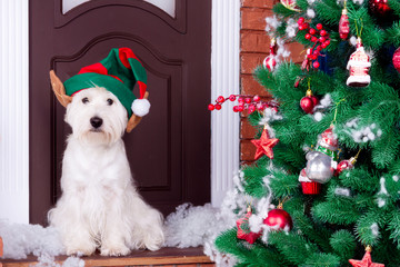Decorated west highland white terrier dog as symbol of 2018 New Year in green elf hat sitting near door and pine tree in winter holiday
