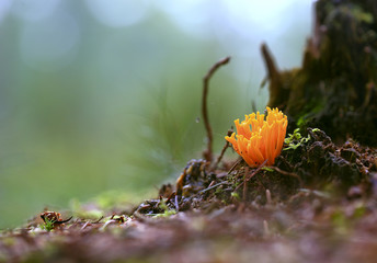 Coral.Bright yellow fungus like coral growing on a stump.