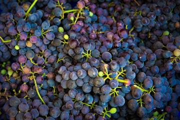 the grape harvest