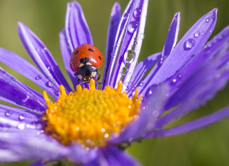 After a rain.The ladybug on a lilac flower after a rain dries in the sun.