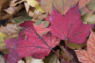 Red Treasures in the Leaf Pile