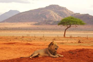 Lion lying in Tsavo National Park Africa best photo