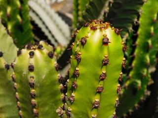 saftiger Kaktus in der Botanik