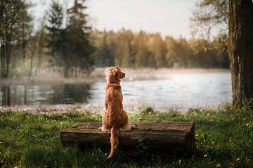 Dog Nova Scotia duck tolling Retriever at the lake