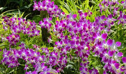 Vibrant Dendrobium orchids in tropical Singapore