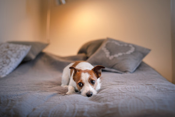 Dog Jack Russell Terrier lying on the bed