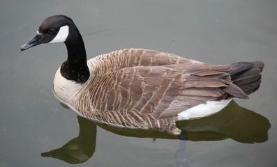 Canada Goose, Full Body