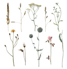 Set of watercolor meadow plants isolated on white background. Hand drawn illustration. Field. Botanical flowers. Grass.