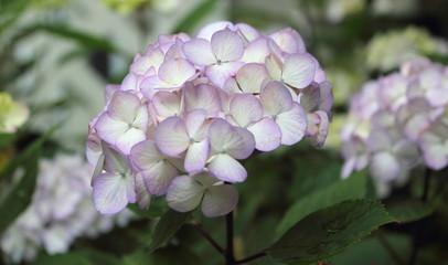 Pale Purple Tinged
